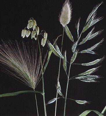 Ziergras Ziergräser Mischung einjährig Höhe 40 - 70 cm Samen
