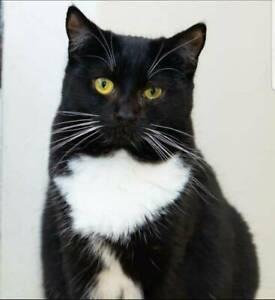 AK2917 : Curtin - CAT for ADOPTION - Vet Work Included