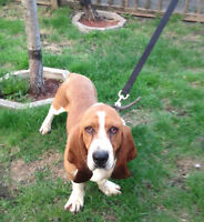 Older Basset Hound Needs Home