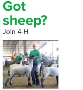 Strathcona Rein Riders is looking for more sheep members