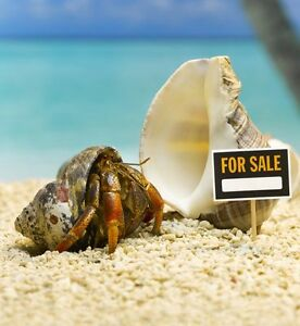 Beautiful Hermit Crabs (Purple Pinchers) For Sale (cheap)