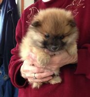 2 Pomeranian Pups and mother for sale