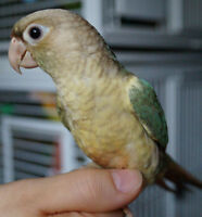 TURQUOISE PINEAPPLE GREEN CHEEK CONURE BABY