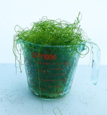 Chaeto 2 Cup Chaetomorpha Macro Algae Copepods Amphipods Refugium Saltwater