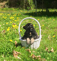 CKC Reg. German Shepherd Puppies Spring & Summer