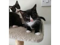 Kittens x 2 boys ready for rehoming on 25th