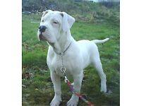 Beautiful American bulldog puppy