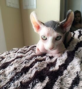 ***Bare It All Sphynx has babies***2 babies left