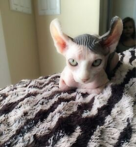 ***Bare It All Sphynx Has Babies*** 2 Babies Left