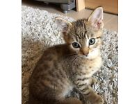 Beautiful tabby kitten with spots on body like bengal. 8wks old and ready to go.