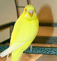 Yellow budgie for sale with a red cage - $35.00