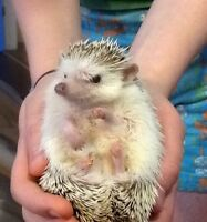 African Pygmy Hedgehog for Sale