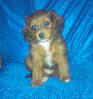 Shih Tzu x poodle cross puppies