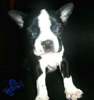 Male and Female Boston Terrier Puppy