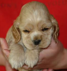 Reg. Am Cocker Spaniel pups