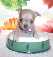 SUBLIME chihuahua  1 POIL LONG  MALE(700$)1 f  lilas bleu 900$