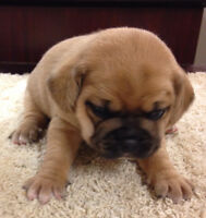 Beautiful Puggle Puppies for sale!