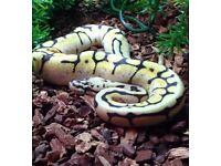 Royal Python female enchi bumblebee
