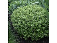 Garden Plants, Hebe rakaiensis ,very hardy shrub. Plant