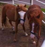 2 ponies for sale