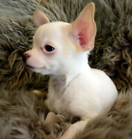 TWO  CHIHUAHUA PUPPIES -------- LONG COAT MALES