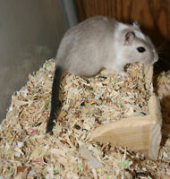Gerbils Available for Adoption!