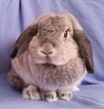 Rescue/Rehome: Good natured, large lop female Joondalup Joondalup Area Preview