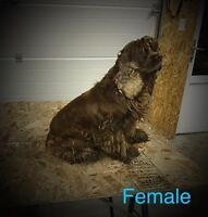Cocker Spaniel Pair for Sale