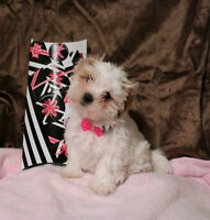 Tiny Havanese Bichon Baby Girls