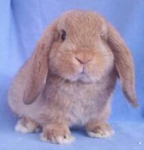 Mini Lop Rabbit Baby - Affectionate, calm girl, loves attention Joondalup Joondalup Area Preview