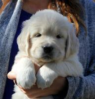 CKC Reg. English type Golden Retriever puppies  Summer Litters!