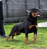 Top European bread Rottweiler pups