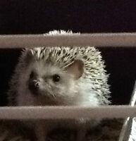 Hedgehog free to good home