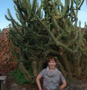 Winterharte Baum-Kakteen / Opuntia verschiedene Sorten