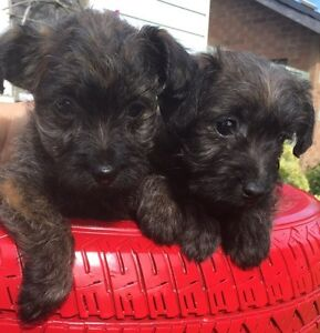 Cairn terrier/toy poodle