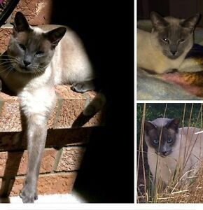 Missing Siamese Kitchener / Waterloo Kitchener Area image 3
