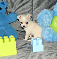 Gyn chihuahua blanc petit ours polaire adorable