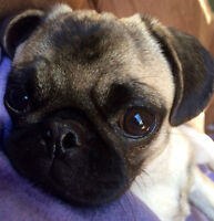 Pug Sweet 22 Month Needs forever home