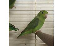 Celestial parrotlets