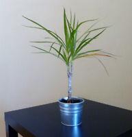 Plante verte acheter et vendre dans grand montr al for Plante verte ikea