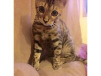 One Male Bengal Cat For Sale