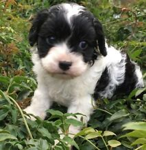 Beautiful toy cavoodle puppies Morisset Lake Macquarie Area Preview