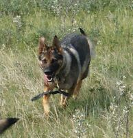 CKC registered German Shepherd