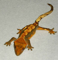 Young and Gorgeous Crested Geckos