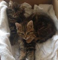 pair of kittens (siblings) looking for adoption
