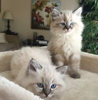 """Three Genuine RAGDOLL Kittens """"Sorry the kittens are all SOLD"""""""