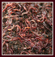 Red Wigglers - composting worms, vermicompost, Eisenia Fetida