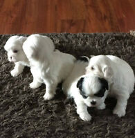 ~BEAUTIFUL MALSHI PUPPIES~ ALL SOLD!!!