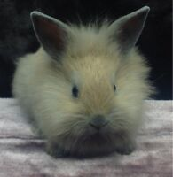 Baby bunny *Dwarf Lionhead* only one left
