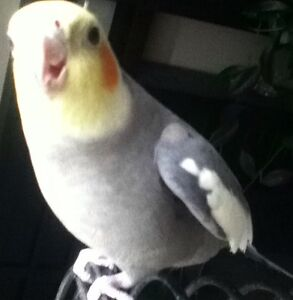 2 Grey Male Cockatiels For Sale FINAL REDUCED PRICE